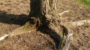Le peuplier de mon voisin étend ses racines chez moi, que faire?